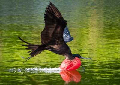 Frigatebird swoops for water to drink